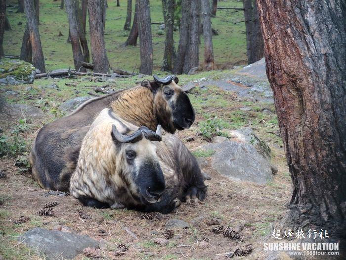 【不丹旅游   动物园里的四不像